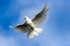Dove in sky. White dove flying in the Sky Stock Images