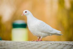 Dove. A sleepy white dove with her âEUR stock image