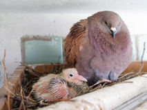 Dove with small chick Royalty Free Stock Photos