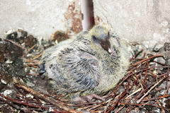Dove small in the nest Stock Photo