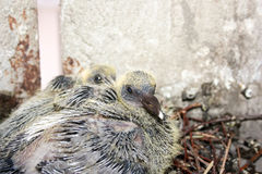 Dove small in the nest. With a white tip Stock Photo