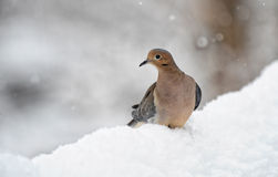 Dove in snow Royalty Free Stock Photos