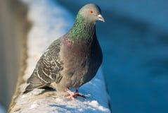 Dove on the snow Stock Photo
