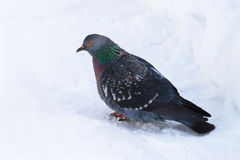Dove  on the snow surface Stock Image