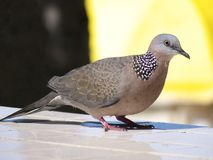 Dove Spotted Stock Photo