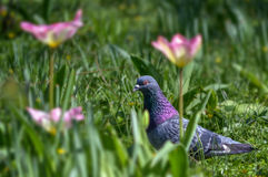 Dove. Spring, a dove between tulips stock image