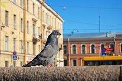 Dove St. Petersburg Royalty Free Stock Photography