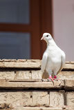 Dove on the stairs Royalty Free Stock Photo