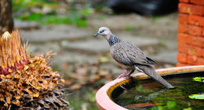 Dove stand on jar Stock Images