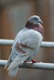Dove standing on bridge handrails Stock Images