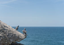 Dove Standing on the edge of rock. Close to Ocean. Sydney, Australia Stock Photos