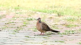 Dove standing on the floor. Chiangmai Thailand stock video footage