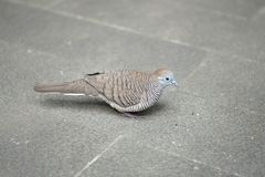 A dove standing royalty free stock photography