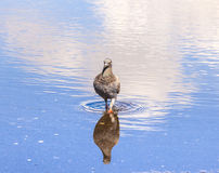 Dove standing in a puddle Stock Image