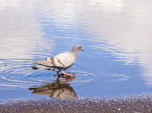 Dove standing in a puddle Royalty Free Stock Image