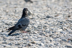 The dove stands on the shore strewn with pebbles Stock Photos