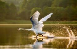 Dove-starting Stock Image