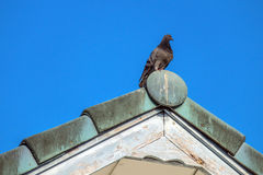 Dove stood gracefully on the roof. Royalty Free Stock Photo