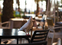 Dove in street cafe. Background Royalty Free Stock Photo