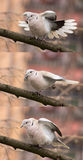 Dove (streptopelia decaocto)-Bird gymnastics Stock Photography