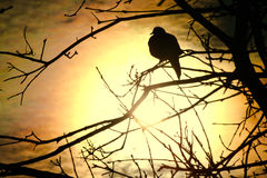 Dove at Sunset Royalty Free Stock Photos