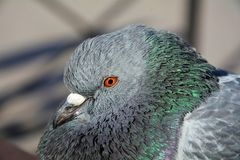 Dove, symbol of God Royalty Free Stock Photos