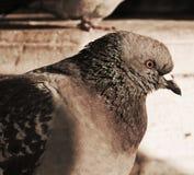 Dove, symbol of life. Pigeon, symbol of life and good news. Close-up Royalty Free Stock Photos