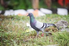 The Dove. There is a dove walking on the land during a day Royalty Free Stock Photo