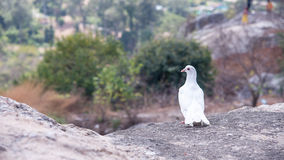 A dove on the top of the plateau looking other way. Royalty Free Stock Images