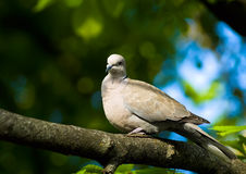 Dove on the tree Stock Photos