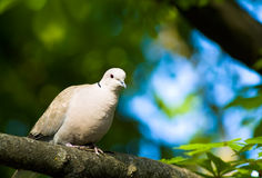 Dove on the tree Royalty Free Stock Images