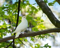 Dove in the tree Royalty Free Stock Photo