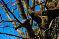 Dove on a tree branch. Blue sitting on a tree branch and looking into the lens Stock Images