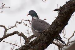 Dove in tree Royalty Free Stock Image
