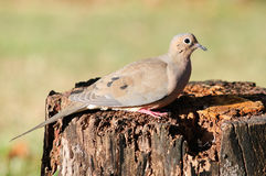 Dove on tree stump Royalty Free Stock Image