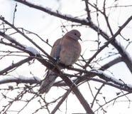 Dove on the tree in winter stock photos
