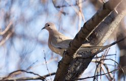 Dove on the tree in winter royalty free stock photography
