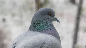 Dove. Unpretentious birds living almost anywhere Stock Images