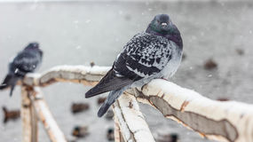 Dove. Unpretentious birds living almost anywhere Royalty Free Stock Photo