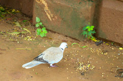 Dove at vastrapur lake. Dove in Ahmadabad Gujarat, India stock images