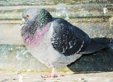 Dove in Venice, close up, portrait Royalty Free Stock Photos