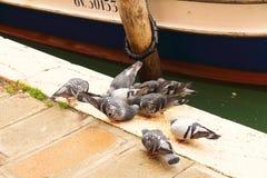 The dove in Venice Stock Photo
