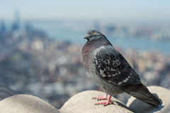 Dove with a view Royalty Free Stock Images