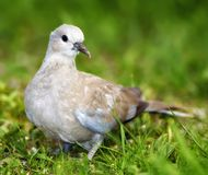Dove walking Stock Photos