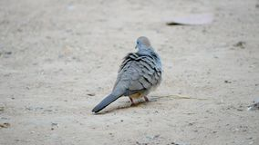 A dove walking on the ground. A dove walking and looking feed on the ground stock footage