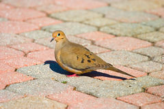 Dove walking on pavers. Of different colors Royalty Free Stock Photo