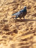 Dove walking in the sand.  stock photography