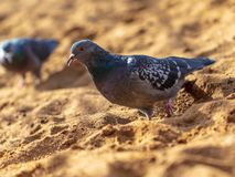 Dove walking in the sand.  stock images
