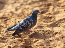 Dove walking in the sand.  royalty free stock photo