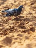 Dove walking in the sand.  stock photo